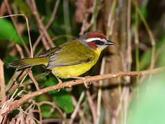 Pula-pula-de-capuz-vermelho // Reinita Gorricastaa // Rufous-capped Warbler (jvverde) Tags: rufouscappedwarbler basileuterusrufifrons reinitagorricastaa pulapuladecapuzvermelho