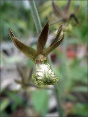 (Tlgyesi Kata) Tags: eulophiaandamanensis orchid orchidea withcanonpowershota620 greenhouse veghz summer fvszkert botanikuskert botanicalgarden flower blossom nyr