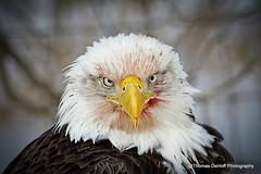War Bird (Thomas DeHoff) Tags: up blood close sony baldeagle a700