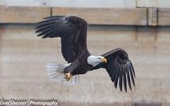 Bald Eagle (Dan Shearer   Photography) Tags: mississippi iowa mississippiriver eagles baldeagles lockanddam14 ld14
