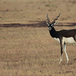 BBR-Male-Blackbuck-looking