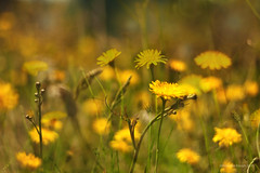 drunk on a field of dandelions (birdcloud1) Tags: flowers summer plants nature field yellow weeds doubleexposure dandylions plantlife canon50mm18 50mmlens 400d eos400d canoneos400d amandakeogh amandakeoghphotography birdcloud1