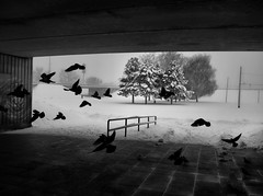 Flock (Tomislav C.) Tags: city urban white snow storm black bird nature monochrome weather birds animal animals underpass town pigeon dove pigeons snowstorm croatia monochromatic zagreb exploration naturally urbex pentaxk3