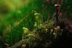IMG_7182 (ratschifu) Tags: macro canon eos avatar natur nackt makro pilze sonne wald schatten bremerhaven moos 70d umkehrring cladoniafimbriata trompetenflechte