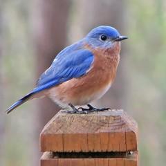 male eastern bluebird in January