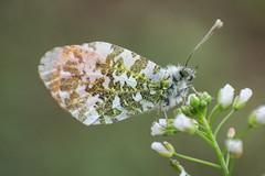 Anthocharis cardamines (Linnaeus, 1758) - male, underside (Marcell Krpti) Tags: butterfly hungary lepidoptera orangetip anthochariscardamines pieridae pierinae hajnalprlepke westernmtra kzpml