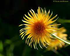 Barberton Daisy (Gerbera jamesonii) (leendert3) Tags: flowers ngc npc sunrays5