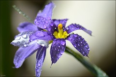 purple flower (franciska_bosnjak) Tags: flower nature drops nikon purple outdoor raindrops waterdrops d3100
