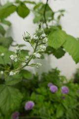 Bramble blossom (Sorbus sapiens) Tags: blackberry blossom bramble