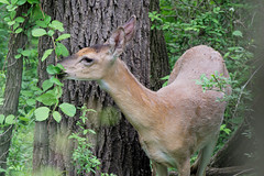 White-tailed deer (Tiny Wallet Photography) Tags: deer whitetailed