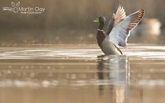 Mallard - 13th March 2016 (TopBeater) Tags: water sunrise duck wing ducks somerset mallard drake flap burnham waterbirds