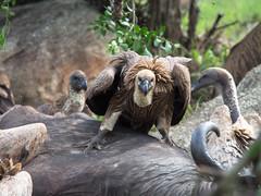 vulture (cosmonaut576) Tags: vulture geier imfolozi
