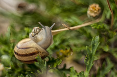 Eobania vermiculata al pascolo2 (Razgriz88) Tags: snail lumaca snails lumache macro meyeroptikgrlitzdomiplan50mmf28 micro micromondo meyeroptik nikon nature natura nikond300 d300 domiplan animali animal animals allaperto macrotubem42mounth