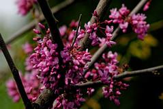 Redbud (joeldinda) Tags: tree home yard nikon michigan may mulliken redbud d300 2016 3125 nikond300