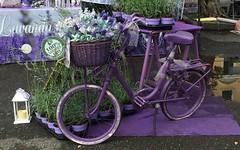 purple bicycle (Irene Grassi (sun sand & sea)) Tags: flowers colors bicycle reflections colore purple fiori viola colori riflessi bicicletta lavanda pozzanghera biciclettafiorita