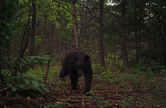 A young black bear in a forest (USDAgov) Tags: forestry restoration fs wildfire pisgahnationalforest wildfires thenatureconservancy northcarolinawildliferesourcecommission collaborativeforestlandscaperestoration grandfatherrestorationproject