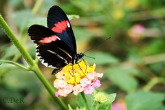 Who is more beautiful?.... (C.DeR) Tags: flowers macro nature leaf aperture colours bokeh wing depthoffield flyinginsect cder fluturi flowersandbutterflies