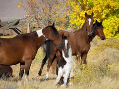 """HORSE PERFECT FAMILY PORTRAIT"" (ellenalbiter) Tags: horses fall animal outdoor wildlife wildhorses"