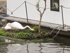 Entrepotdok (jpmm) Tags: amsterdam swans 2016 floatinggarden zwanen drijvendetuin