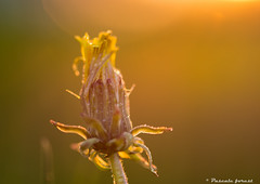 Golden hour! (pascaleforest) Tags: macro spring nikon passion printemps goldenhour pissenlits heuredor