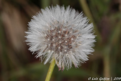 Dente-de-leo (Lus Gaifm) Tags: flower macro planta nature natureza flor dandelion plantae mindelo dentedeleo lusgaifm
