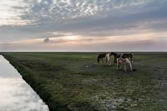 Paarden op de Groningse kwelder (Henk Huizenga) Tags: horses holland nature netherlands waddenzee outback paard paarden hors ruimte kwelder