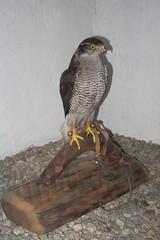 Mounted falcon (quinet) Tags: alps castle austria tirol sterreich taxidermy schloss chteau tyrol hohenwerfen autriche burg falconry falknerei 2014 tyrolia fauconnerie empaillage prparatoren