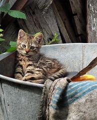 Born to be wild (louise peters) Tags: france cat bucket kitten kat burgundy frankrijk sancerre pussycat poes zinc zink zinken emmer poesje katje bourgondi