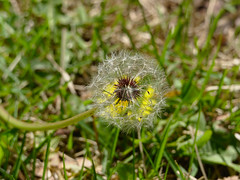 P5237997 (Paul Henegan) Tags: white blur flower green grass leaves yellow fb lawn dandelion seeds blowball