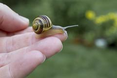 Little Crawler (brucetopher) Tags: nature spiral gold golden bokeh shell snail swirl swirlie crawl mollusc mollusk goldenmean goldenspiral