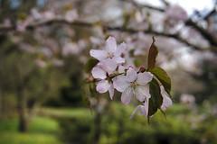 *** (Roman ME) Tags: nature sakura