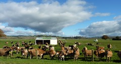 Inquisitive Cows (sallyNZ) Tags: field farm ribbet dairycows