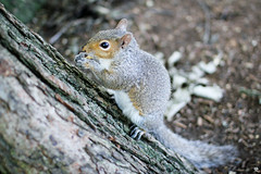 little (Andrea // AT Graphics!) Tags: park light usa tree cute green nature animals boston canon fur photo squirrel friend massachusetts 4 f1 hungry feed bostoncommon celtics beantown bostonist natgeo sigma30mm fastlens canoniani eos550d