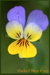 Pansy (ctofcsco) Tags: 1125 100mm 28 bokeh canon colorado coloradosprings ef100mmf28macrousm eos50d explore explored geo:lat=3893083779 geo:lon=10489145279 geotagged gleneyrie nature northamerica telephoto unitedstates usa wildlife flower plant outdoor pansy yellow purple macro close up 50d ef100mm f28