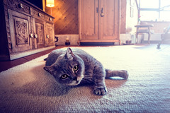 Kater (Fhrich) Tags: cute home animal cat grey day interieur room dream livingroom katze kater tier sunnyday hause tomcat zu ss
