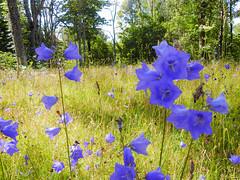 Anglų lietuvių žodynas. Žodis campanula persicifolia reiškia <li>Campanula persicifolia</li> lietuviškai.