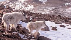 We Call This Home (OJeffrey Photography) Tags: panorama snow nikon colorado wildlife co mountaingoats d500 wildanimals coloradorockymountains rockymountaingoats jeffowens ojeffrey ojeffreyphotography