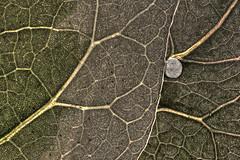 green bubble (Raphael..) Tags: macro nature arbre feuille feuillage