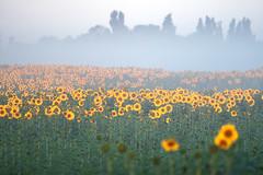 Sonnenblume - Helianthus annuus - sunflower (Juliane Myja) Tags: sonnenaufgang sonne sonnenblume summer sun sunflower flower flora feld field julianemyja bokeh nebel blume helianthusannuus oschatz pflanze natur nature landschaft landscape