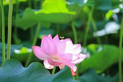 Shinobazu Pond 01 (sunuq) Tags: eos 5dsr ef70200mmf4lisusm ef70200mm tokyo japan chiyoda  shinobazupond flower  lotus outdoor ueno uenopark   bee