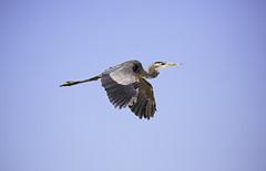 Great Blue Heron (surfneng) Tags: birds nilandmarina saltonsea greatblueheron