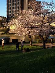 hanami (caroladiiorio1) Tags: cherry tree hanami fioritura ciliegi giapponesi roma rome