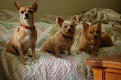 DSC_9675 (ghoulia) Tags: dogs dogvacay rovercom mutts chihuahua yorkie pomeranian