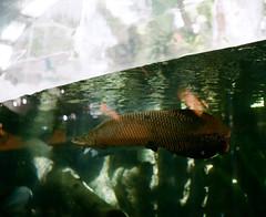 (Sodutri) Tags: arapaimagigas fish arapaima smc takumar 6x7 105mm f24 smctakumar6x7105mmf24