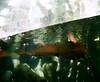 (Sodutri) Tags: arapaimagigas fish arapaima smc takumar 6x7 105mm f24 smctakumar6x7105mmf24 國立自然科學博物館 植物園