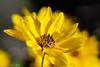 Clouds Of Yellow (David S Wilson) Tags: sonya5100 england flowers flowersplants flower adobelightroom6 sonysel50f18 ely 2016 davidswilson uk fens