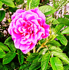 June, first rose of the season IMG_2058   Juin, première rose de la saison (Nicole Nicky (mostly off, temporarily)) Tags: flower fleur rose june juin canon nature plant pink summer été outdoor dehors quebec