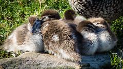 P1150225 (Pursuedbybear) Tags: tarongazoo sydney sydney2016 ducklings duck