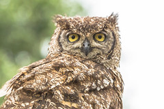 Wise Eyes (modaser) Tags: animal animals beeksebergen bird birdofprey closeup dutch holland nederland netherlands owl raptor safaripark wild wildlife zoo ngc