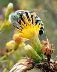 Sand Wasp (Bembix sp) (J.Thomas.Barnes) Tags: bembicini
